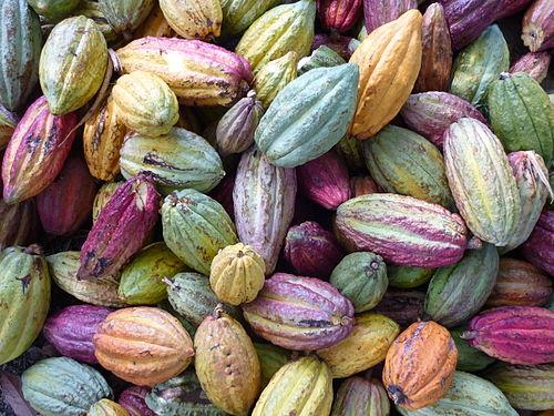 De la fleur du cacaoyer à la fève de cacao - Mon jardin chocolate